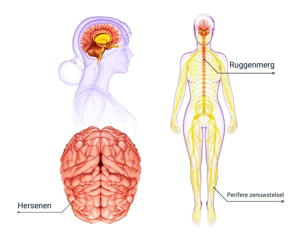 centrale Zenuwstelsel graphic van vrouw met 3 plaatjes hersenen, hoofd, lichaam